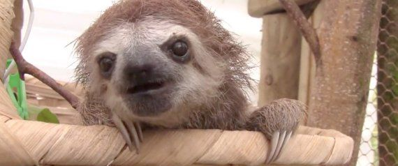 WATCH: You've Never Known Love Until You've Heard A Baby Sloth Squeak