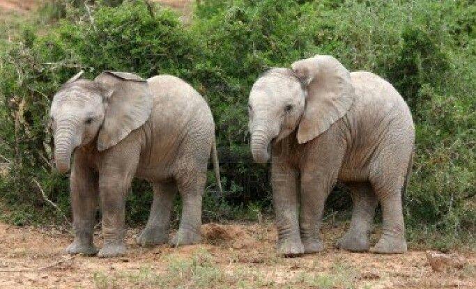 Baby olifanten