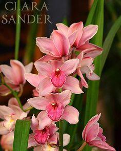 Cymbidium Hybride  #orchids #Orchidee #Orchideen #OrchIDEENgarten #orquídea #orquídeas #orchidées #orchidée #orchidej #orchideje #orkid #orkidéer #storczyki #storczyk #nature #naturelovers #iloveorchids #loveit #Blumen #colourful #colours #orchidacea #flowers #flower #best #love #pic #plant #pink #cymbidium