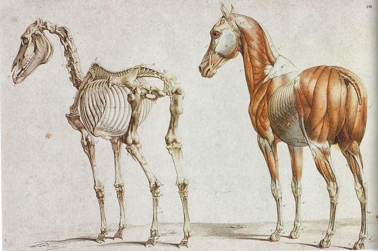 Horse anatomy.