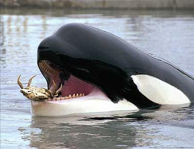 Like people, Killer Whales like to snack on some crab legs now and then.