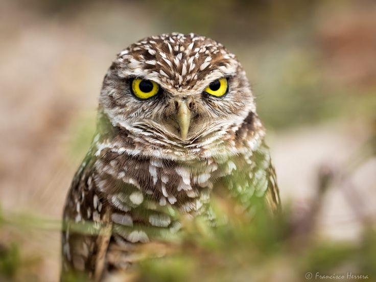 https://flic.kr/p/SSJm5W | Burrowing Owl | Burrowing Owl  Brian Piccolo Park, Hollywood, FL
