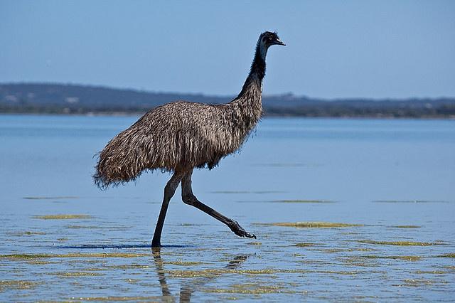 Emu at Coffin Bay, Eyre Peninsula -  by John White