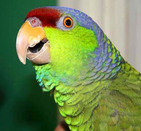 Lilac Crowned Amazon Parrot. an Endangered species of parrot native to Mexico and some parts of California and Texas.