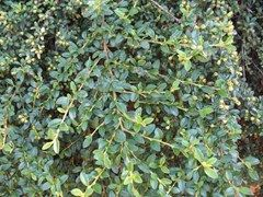 Cotoneaster dammer , shiny leads, red fruit, edging plant, sunny slopes