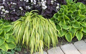 Hakone grass makes an attractive combination   with Hosta 'Golden Tiara' and purple-leafed oxalis