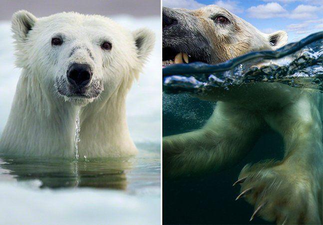 """Paul Souders é um fotógrafo norte-americano que ganhou recentemente um prêmio no prestigiado concurso Wildlife Photographer of the Year (Fotógrafo de Vida Selvagem do Ano), na categoria """"Animais em seus Habitats"""". A foto vencedora mostra um urso polar submerso na água, em meio a blocos de gelo. Mas o melhor é que o portfólio de Souders não fica por aqui. Souders quis mais do que simplesmente avistar ursos polares à distância e clicá-los. Ele quis chegar perto, captar-lhes as expressões. E…"""