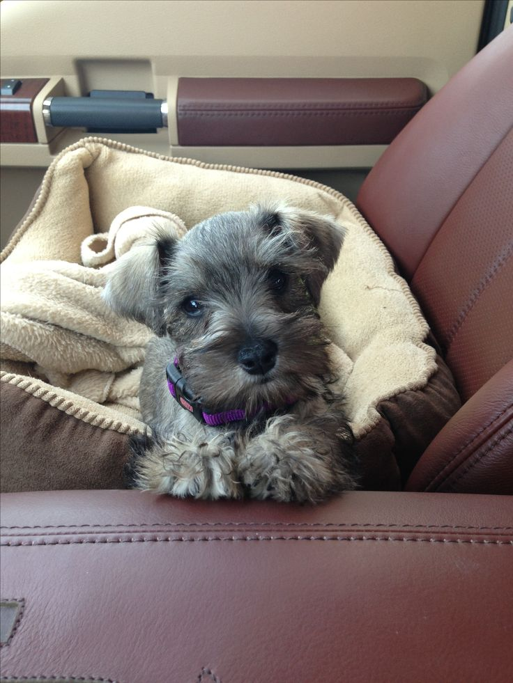 Salt & Pepper Miniature Schnauzer I remember when Einstein was little :)