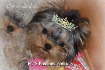 yorkies for sale,baby doll yorkshire terriers,apple head yorkies,tiny yorkies,yorkie puppies for sale,champion yorkies,teacup yorkies,yorkshire terrier breeder,short nosed yorkies