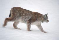 Norwegian Lynx (gaupe), photo by Asle Hjellbrekke/
