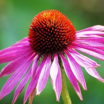 Jeżówka purpurowa (fot. www.sxc.hu/vivoad)
