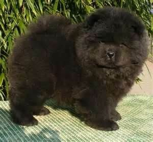 Chow chow pup. I have one and is lab mixed hes my big black teddy bear.