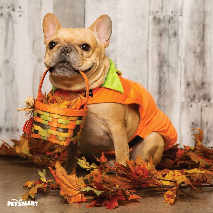 Image result for halloween pumpkin dogs pics