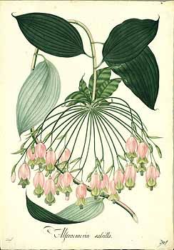102688 Bomarea salsilla (L.) Mirb. / Mutis, J.C., Drawings of the Royal…