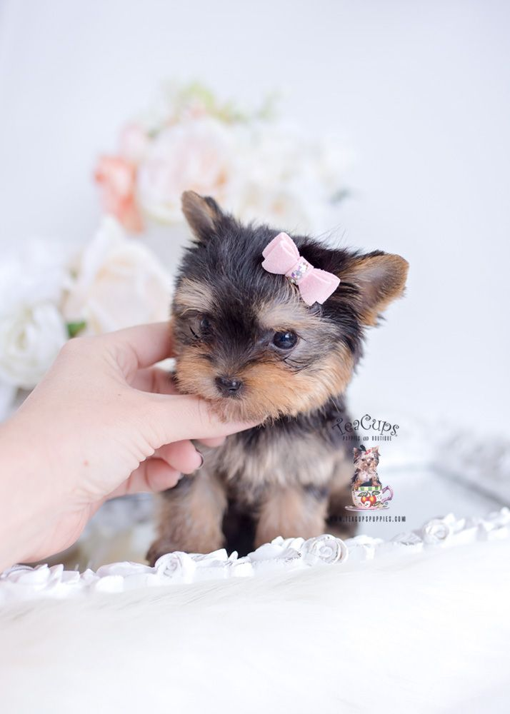 Yorkie Puppy For Sale Teacup Puppies 131 B Yorkie Teacup Yorkie Puppy Yorkie Puppy