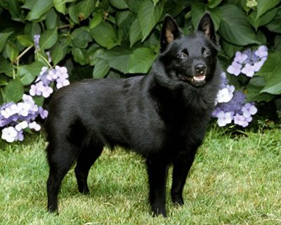 Grupo 1 Perros de pastor y Boyeros