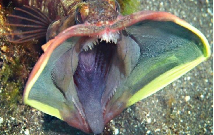 Sarcastic Fringehead  Эти рыбы обычно живут, скрываясь в разных объектах на морском дне. Когда они открывают большие рты, их можно принять за Хищника.
