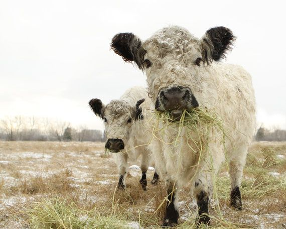 White Cow Photograph Two White Cows Animal Photography French Country 11x14 on Etsy, $30.00