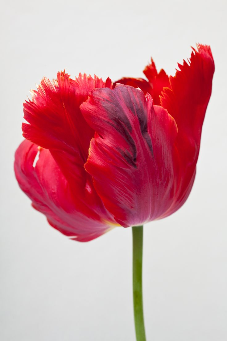 Carolyne Roehm an intense parrot tulip in deep red with blue undertones.  Stunning and amazing nature at it's bestest.