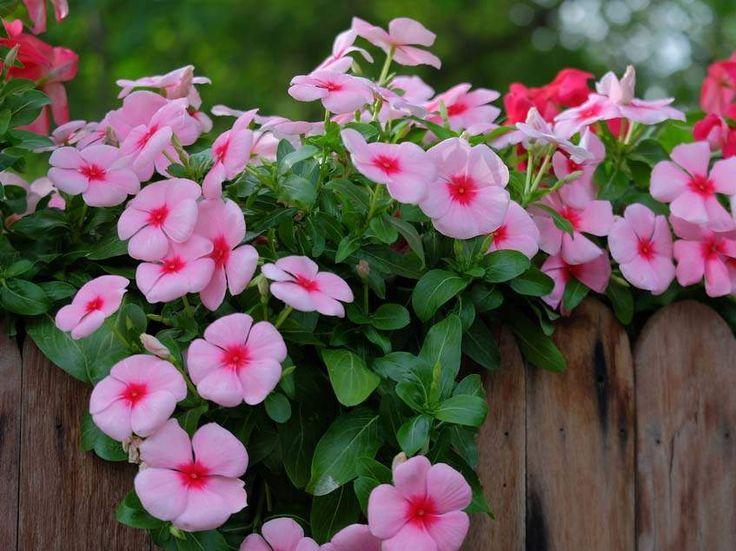 A meténgfélék (Apocynaceae) családjába tartozó rózsameténg (Catharanthus roseus) a szubtrópusi kertekben kedvelt gyógyhatású dísznövény. Nálunk konténernövény, de egynyáriként is tartható. Szívós és mutatós.