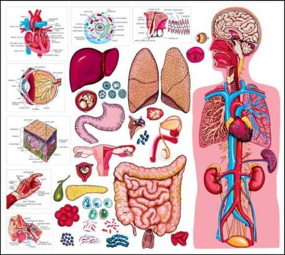Anatomy cut-outs, use for human body activities