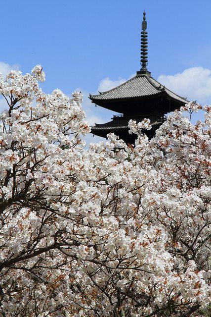 Cherry tree in full bloom, Ninna-ji Temple, Kyoto, Japan