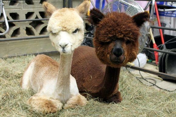 Image result for shaved alpaca meme