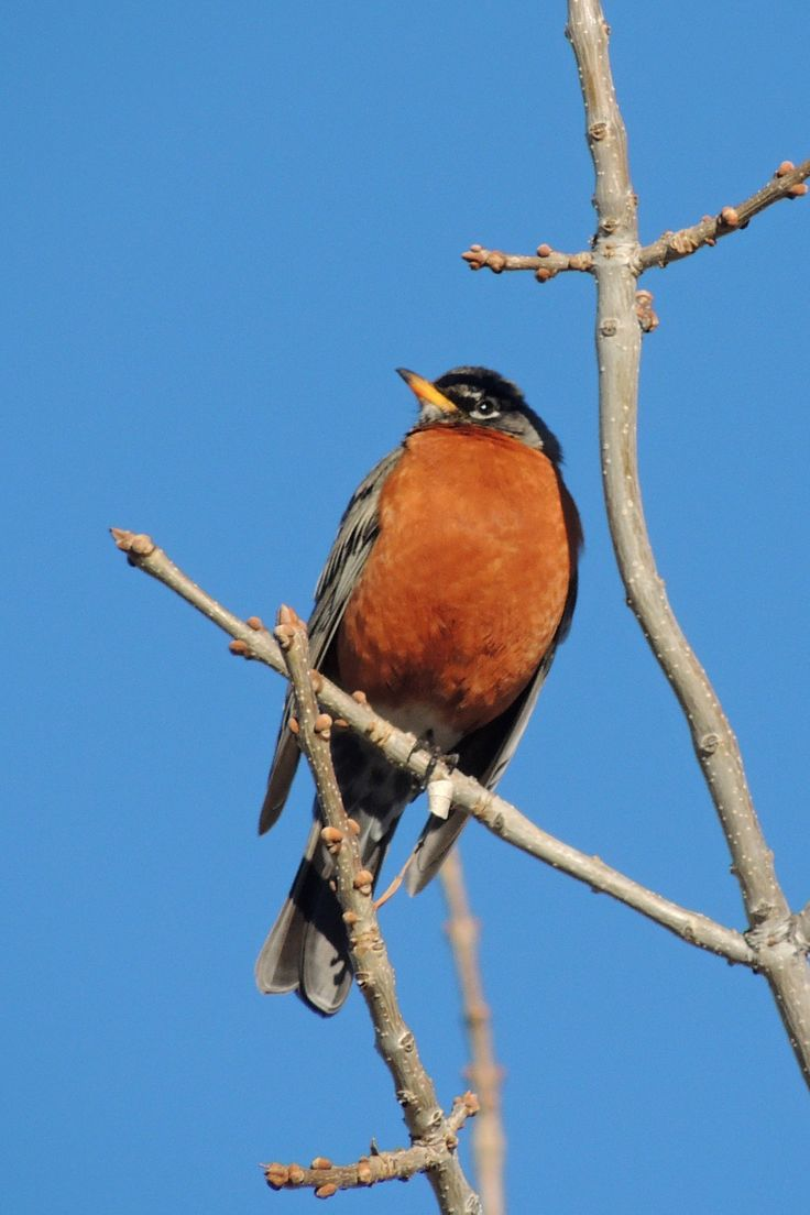 American Robin ©Steve Frye. Wild Bird Center of Boulder, CO Saturday Morning Bird Walk in Boulder County - February 22, 2014.