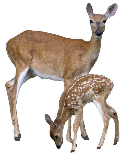 "transparent-flowers: "" Transparent doe & fawn. (x). """