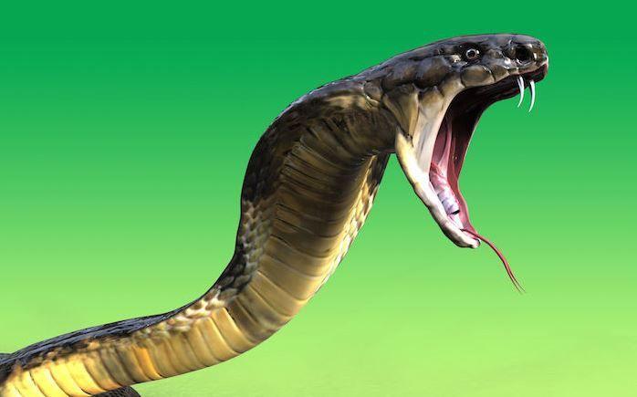 تفسير رؤية ملاحقة الثعبان في المنام لابن سيرين موقع مصري King Cobra Snake Cobra Snake Deadly Animals