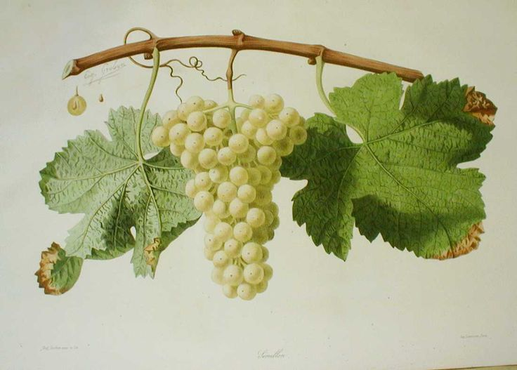 Semillion from 'Ampélographie française', by Victor Rendu. Paris, 1857. Ampelographies describe and often illustrate grape varieties. The hand-coloured lithographs of Eugene Grobon make this book possibly the most prized of the great ampelographies of the nineteenth and early twentieth centuries.