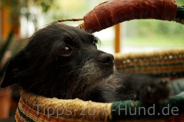 Wie bringt man einen kleinen, also wirklich kleinen Hund in einem Körbchen unter? Wir haben uns auf die Suche gemacht und das Richtige gefunden.     Eine Pfote auf dem Rand fängt Chico an, sich zu entspannen.