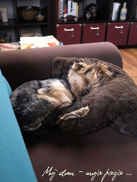 yorkshire terrier, dog, puppy