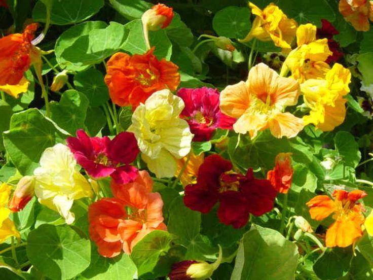 Nasturtium (Tropaeolum Majus Jewel Mix) Edible Flowers-Organically Grown !