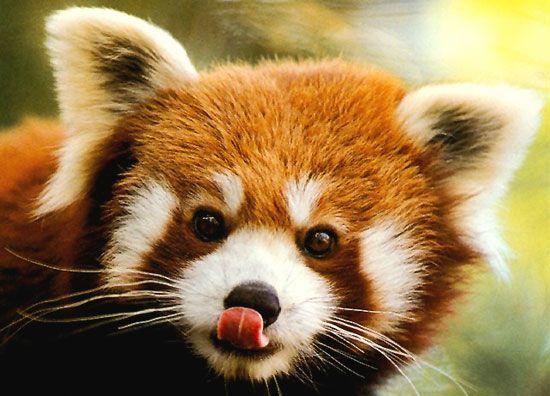 Un panda roux