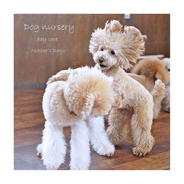 デイケア日中のお預かり🍀  追いかけっこして 激しく遊んだら 笑顔出ちゃいますよね😆  お友達と遊ぶのは楽しいね😁  #犬の保育園 #dogswith #犬 #犬の広場 #犬と遊ぼう #室内ドッグラン #わんこなしでは生きていけません会 #いぬら部 #福岡市 #ドッグサロン #犬の保母さん #fluffy #いぬバカ部 #福岡市のトリミングサロン #トリミングサロン #dogsalon #福岡のトリミングサロン #マザーズドッグス #愛犬 #トイプードルレッド #dog #dogs #ドッグラン #ふわもこ部 #犬の幼稚園 #いぬのようちえん #いぬの幼稚園 #いぬのデイケア