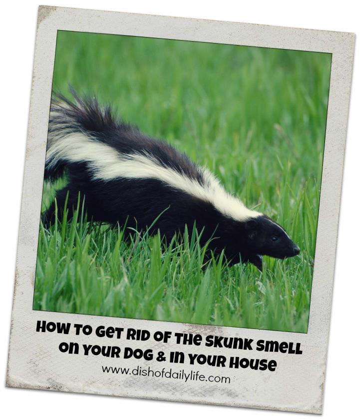 How To Get Rid Of Skunk Smell Dogs Face