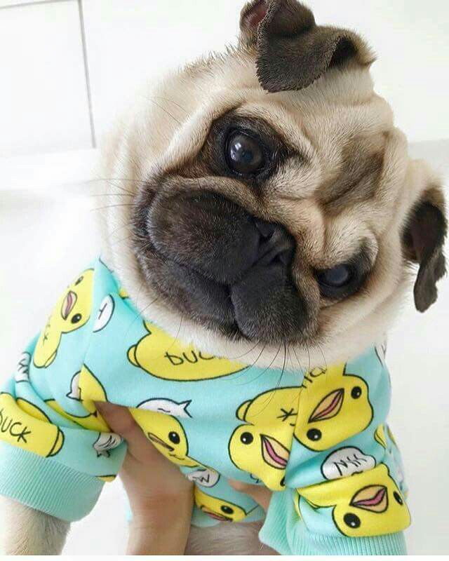 So Cute Pugs Life Baby Pugs Cute Funny Animals Cute Baby Animals