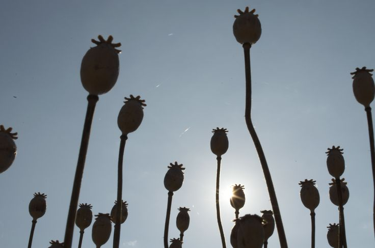 Poppies silhouetted agains sunny background