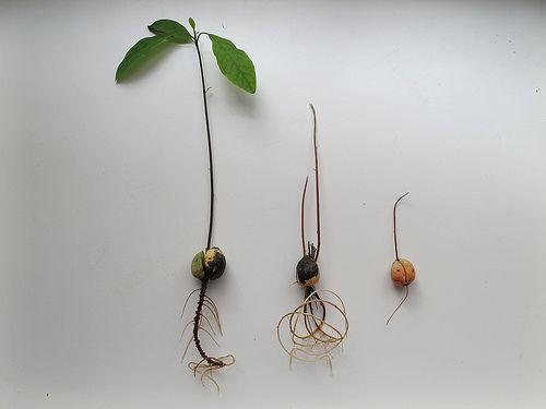 Nederlandse beschrijving Laat je eigen Avocadoboom groeien
