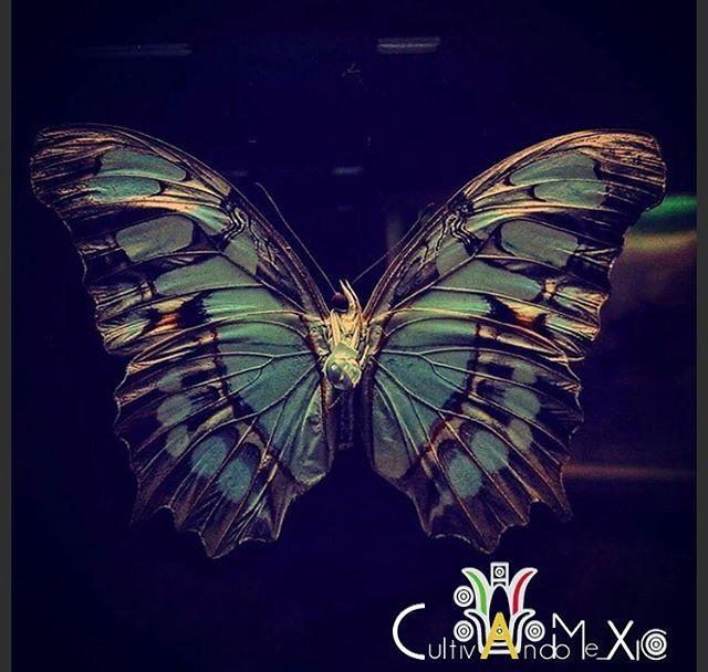 """¡Buen día comunidad! ¡Pasen un excelente Lunes! !! El equipo de @CultivandoMe_xico se complace en presentarles esta hermosa fotografía. Autor: @auracruces  Tema: """"justo cuando la oruga pensó que era su final, nació la mariposa"""" ••••••••••••••••••••••••••••••••••••••••••••••••• Las mariposas son insectos, su cuerpo está formado por tres partes: cabeza, tórax y abdomen y tienen seis patas, dos pares de alas y boca en forma de tubo succionador.  Con casi 130,000 especies en todo el mundo, solo…"""