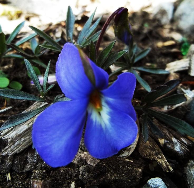 Native Woodland Plants: 13 Best Native Woodland Plants Images On Pinterest