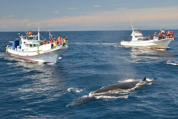 (写真提供:宇佐ホエールウォッチング協会)土佐湾に棲み着いているから遭遇しやすいニタリクジラ▲体長12~15mにもなるニタリクジラは迫力満点(写真提供:宇佐ホエールウォッチング協会)ニタリクジラは黒潮より沖でエサを求めて回遊することが多いと