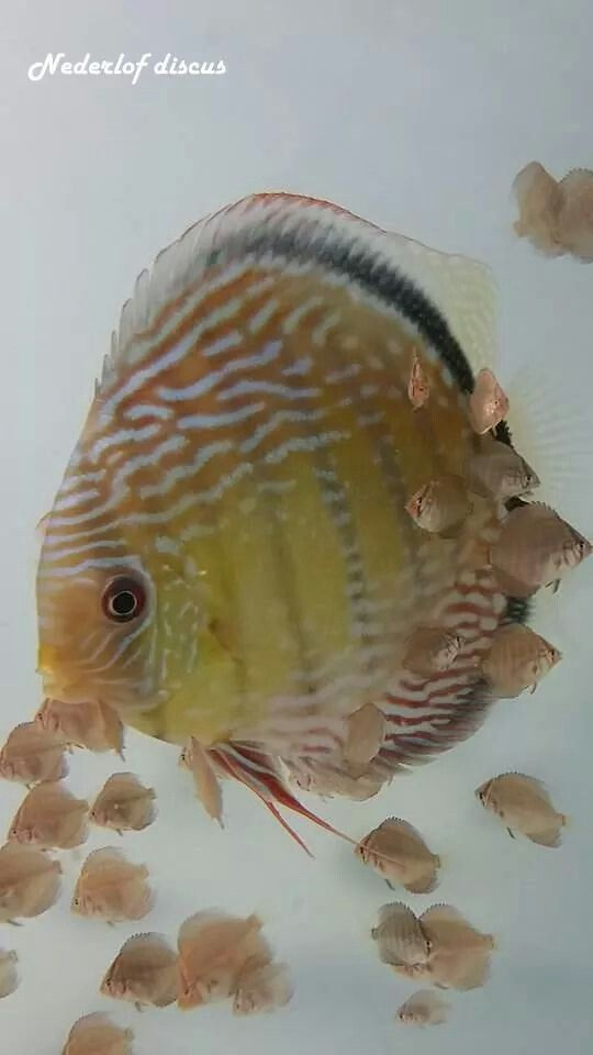 26 best discus fish images on pinterest for Fry baby fish