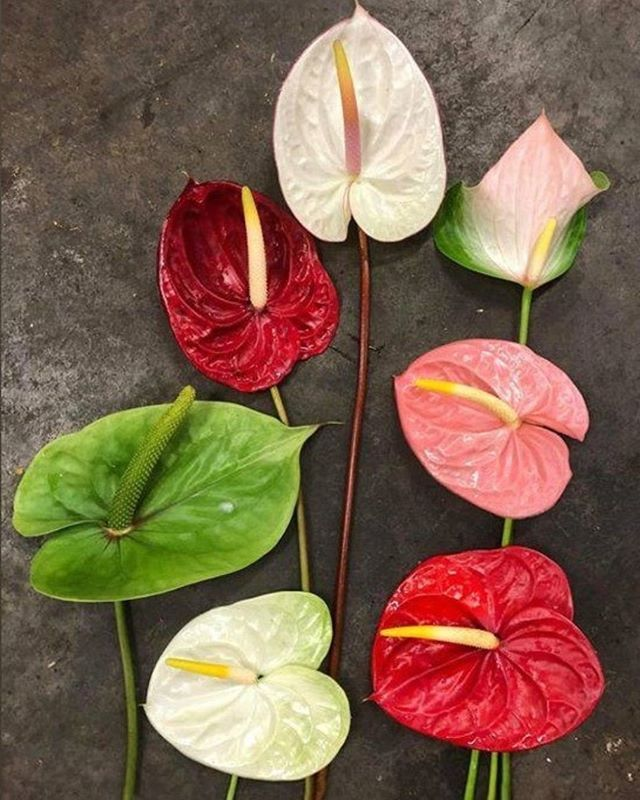 Even Our Anthuriums Know How To Keep Their Distance Happy Monday Morning Everyone Yesterday S Pack Out In 2020 Wholesale Flowers Wedding Flowers Flower Market