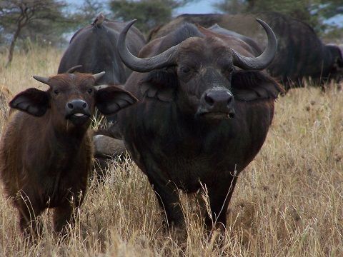 Buffalo | Big 5 | Africa