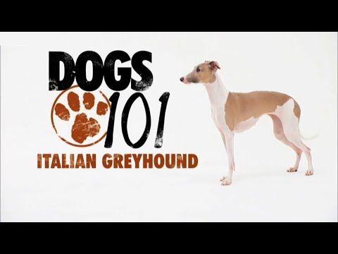 DOGS 101 - Italian Greyhound [ENG] - http://www.doggietalent.com/posts/dogs-101-italian-greyhound-eng/
