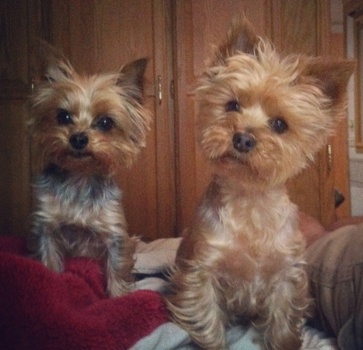 Want to adopt a yorkshire terrier