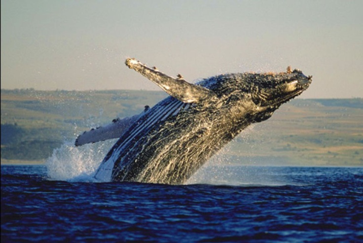 Whale - Hermanus, South Africa