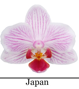 Orchidee Phalaenopsis Japan